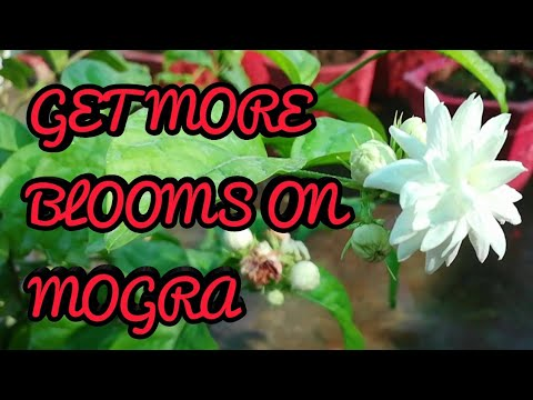 Best Summer Plant, Get More Bloom On Mogra, Mogra pe Dher saare Phool paye.