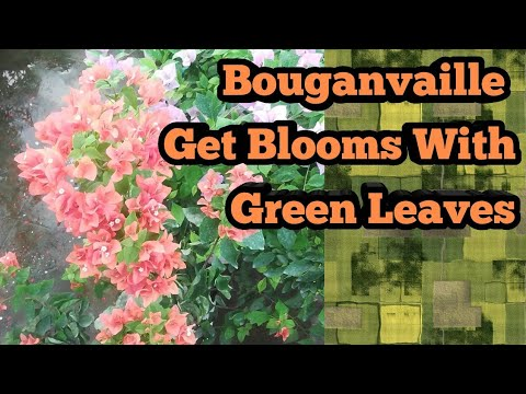 How to get Flowers with Green Leaves On Bougainvillea