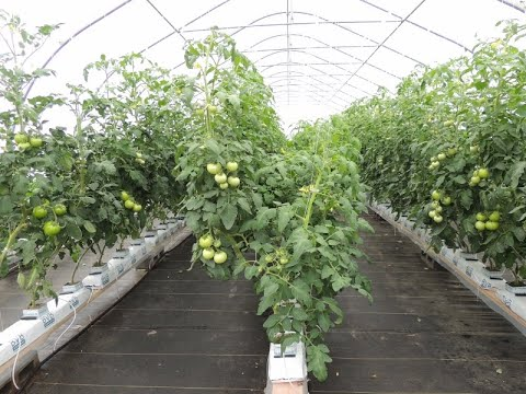 Beefsteak Tomato Growing in Soil VS  Growing in Hydroponics WOW!