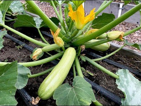 Vegetable Garden Tour #2 (July)