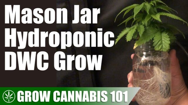 Mason Jar Water Culture Cannabis Timelapse Grow