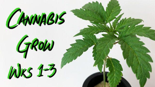 First Cannabis Grow – Weeks 1-3 – Indoor Hydroponic Marijuana