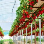 Awesome Hydroponic Strawberries Farming – Modern Agriculture Technology – Strawberries Harvesting