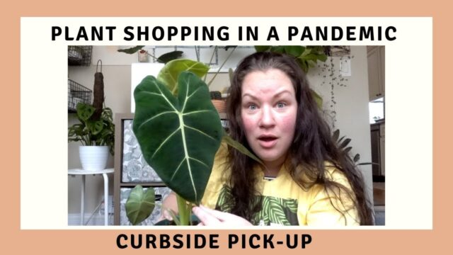Curbside Houseplant Pick Up | Plant shopping during a Pandemic | Plant Shop Chicago