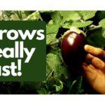 Growing Hydroponic Eggplant Indoors