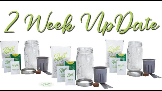 Ball Mason Jar Herb Garden Kit 2 Week  Update