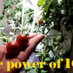 Growing Hydroponic Tomatoes With Just A 10w Grow Light