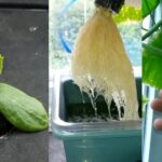 Growing Hydroponic Cucumbers For The First Time