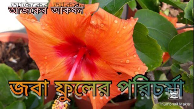 জবা ফুল গাছের পরিচর্যা | Flowering Hibiscus Plant – GREEN ROOF.