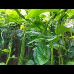 Huge Growing Success Bangladeshi Vegetable Garden In UK / Shokher Bagan 2020/ইউকেতে শখের সবজি বাগান