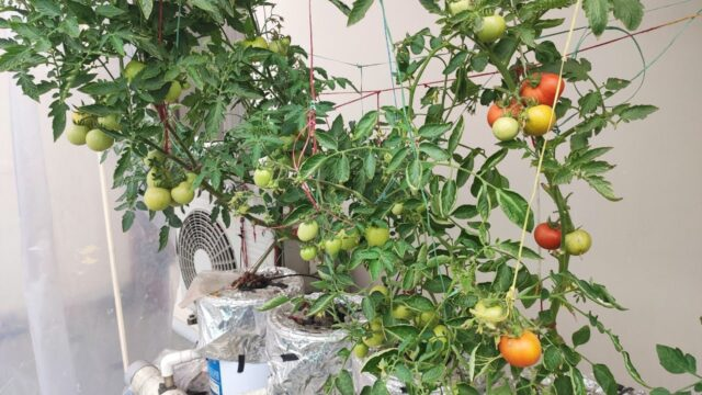 Tomatoes hydrophonic with capsicum added