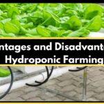 Advantages and disadvantages of hydroponics farming – 2020
