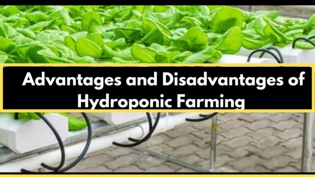 Advantages and disadvantages of hydroponics farming – 2020