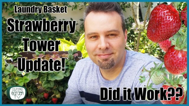 Did it work??? Strawberry Tower Update // 15 Months Later