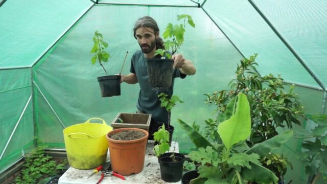 How to grow grapes in containers and pots.