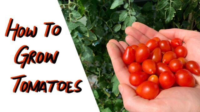 Hydroponic Tomatoes – Kratky vs Soil – Indoors vs Outdoors