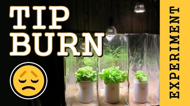 Preventing Tip Burn: Hydroponic Lettuce  (Indoor LED Grow Light) PPFD Experiment