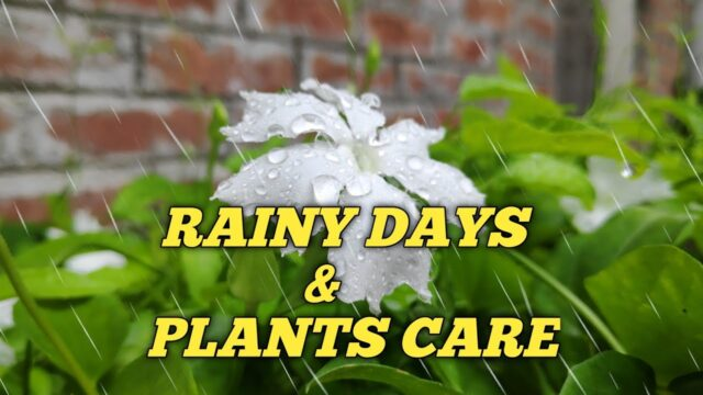RAINY SEASON AND PLANTS CARE | IN HINDI | ROOF GARDENING |