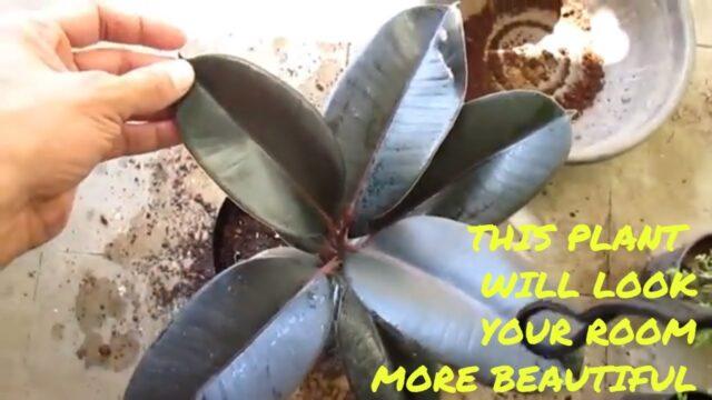 FICUS! RUBBER PLANT! यह प्लांट आपके रूम को देगा चार चाँद ! BEAUTIFUL PLANT FICUS