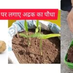 Roof Gardening: छत पर अदरक की बागवानी | Adrak/Ginger Plant on roof | Part 2 | Home Gardening 🌱