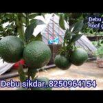 চাইনা কমলা বা চাইনিচ কমলা পরিচর্যা Update care tips Roof garden. ছাদ কৃষি