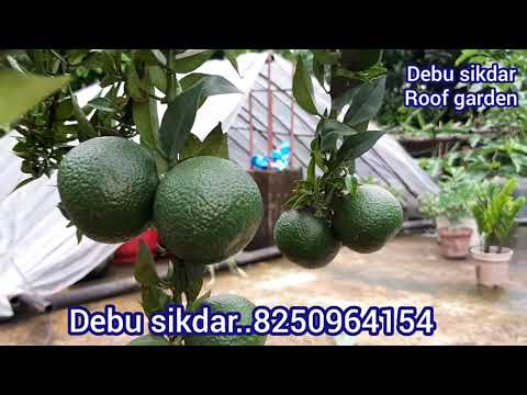 চাইনা কমলা বা চাইনিচ কমলা পরিচর্যা Update care tips Roof garden. ছাদ কৃষি