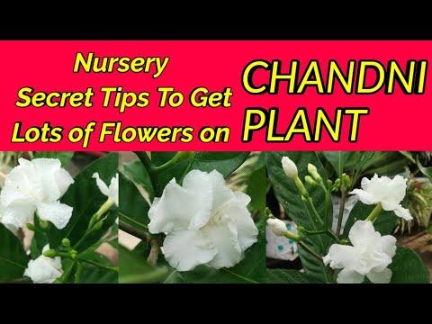Tricks!! DOUBLE PETAL CHANDNI FLOWER PLANTS PE DHER SARE FLOWERS LAAYE