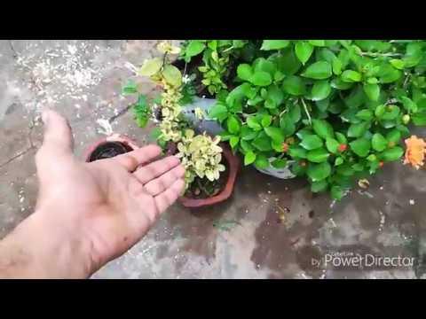 Yellow Leaves On Hibiscus!! ORGANIC METHOD TO MAKE LEAVES GREEN(HINDI)