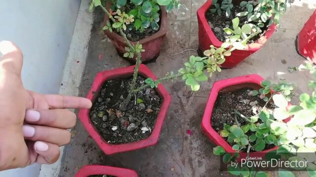 How to Change Potting Soil Of Rose Repotting My Rose plant(Hindi)