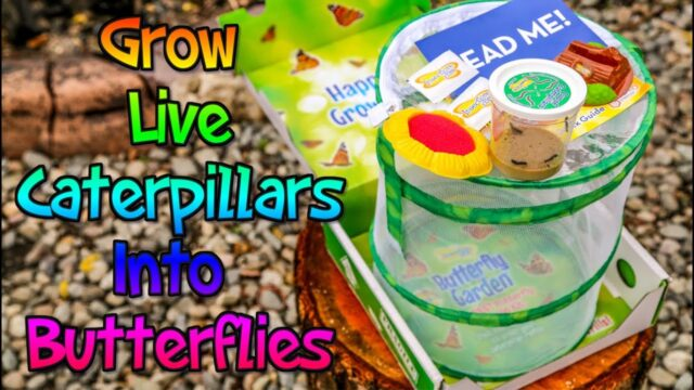 Insect Lore Butterfly Garden Kit With Cup Of Live Caterpillars – Grow Live Butterflies – Week 1