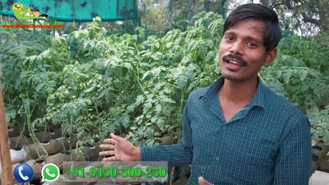 पानी मे टमाटर की खेती || Hydroponic Tomato | soil less farming | Terrace farming