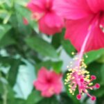 Reasons for Yellow Leaves On Hibiscus in Monsoons and its Solution ⛈️