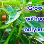 Easy To Grow Chili in Water At Home, How to grow Chili at home in Hydroponic System/chili