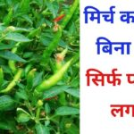 घर पर मिर्च पानी में उगाने का अनोखा तरीक/Chili in Hydroponic system/Hydroponic farming at home