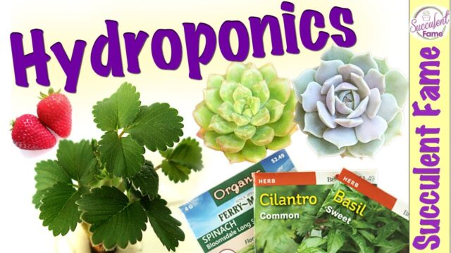 Hydroponic System: How to Grow Succulents, Fruits & Herbs Indoors (With Amazing Updates)