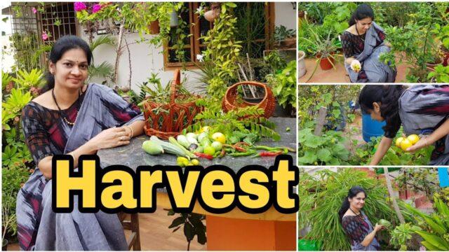 Terrace Garden Harvest / grow your food /ఇవాళ కోసిన కూరగాయలు #vegetable gardening  #madgardener