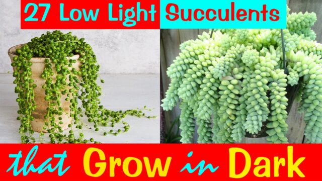 27 Low Light Succulents that Grow in Dark