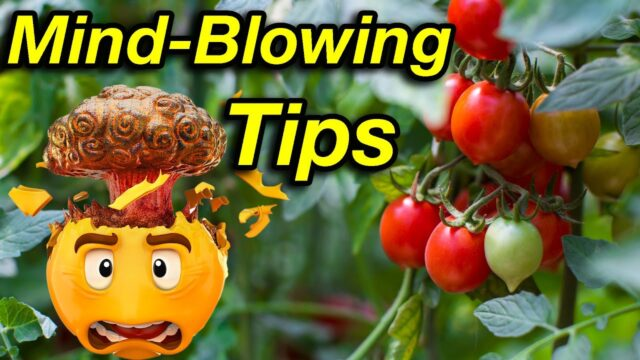 Master Growing TOMATOES With This Mind-Blowing Guide