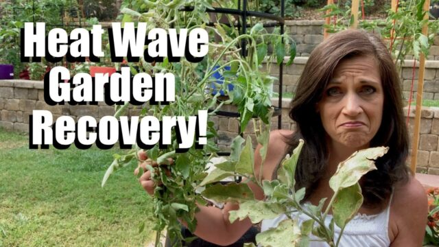 5 Steps to Help Your Vegetable Garden Recover from a Heat Wave 🍅🌞🥒