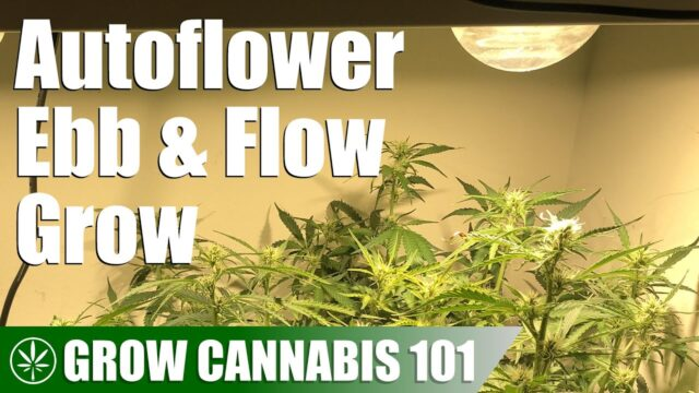 Ebb & Flow Hydroponics Timelapse Grow from an Autoflowering Seed