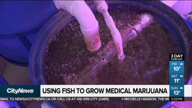 Using fish to grow medical marijuana