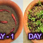 How to grow chillies from chillies at home very easily / 100% success rate