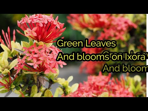 How to get Green Leaves And Blooms on Ixora