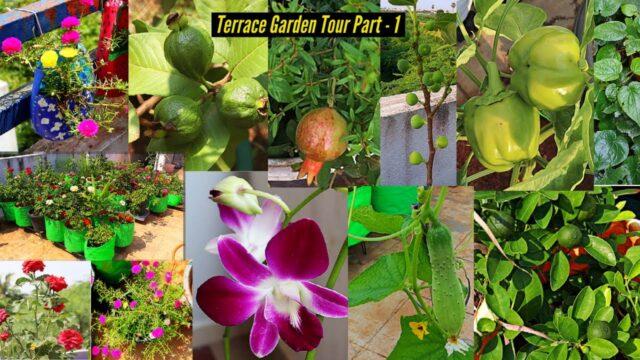 எங்கள் வீட்டு மாடித்தோட்டம் பகுதி 1 | My terrace garden tour part 1 | terrace fruits vegetables rose