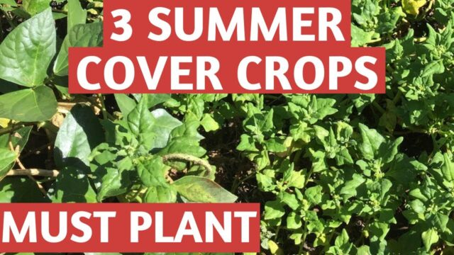 Summer Cover Crops for Florida Vegetable Gardening
