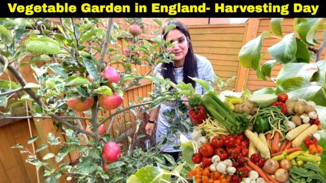 Vegetable Garden- Harvesting Day Oct 2020 (Part 1)| Indian Youtuber in England| Sangwan family