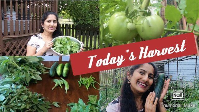 #Vlog | Today's Harvest My Vegetable Garden | అకు కురలు కొసుకుంధం | Telugu Vlogs From USA | Mega Fam