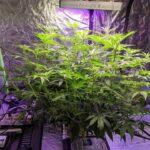 Aeroponics system cannabis grow 7/4