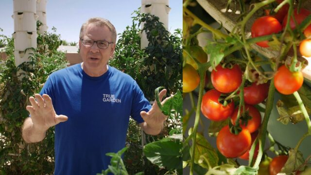 Can you grow tomatoes, peppers and other fruiting crops in a Tower Garden? | True Garden