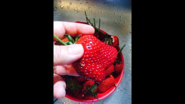 Strawberry Update in the Tower Garden